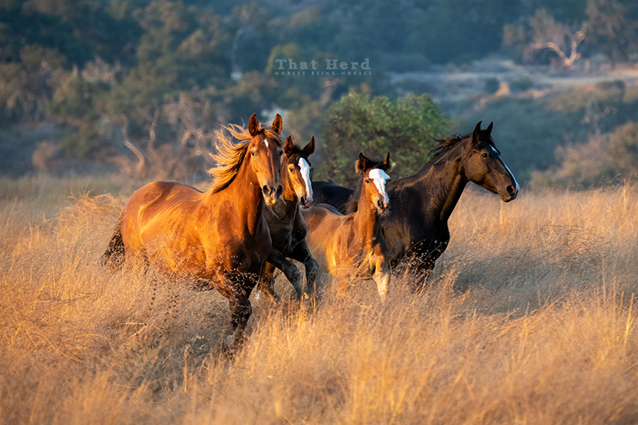 free range horse photography of frolicking mares and foals in a summer landscape