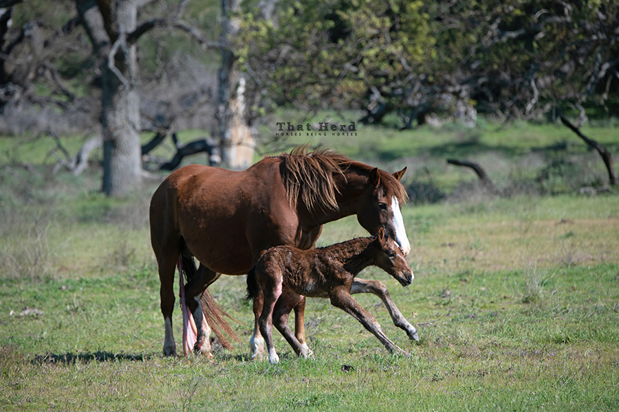 free range horse photography of the first hour of a foal's life learning to stand