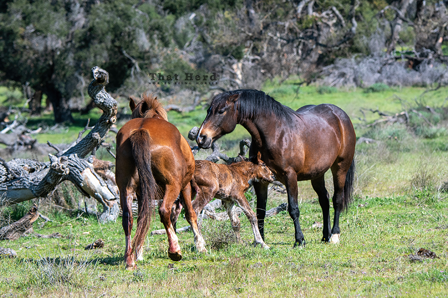 free range horse photography of the first hour of a foal life
