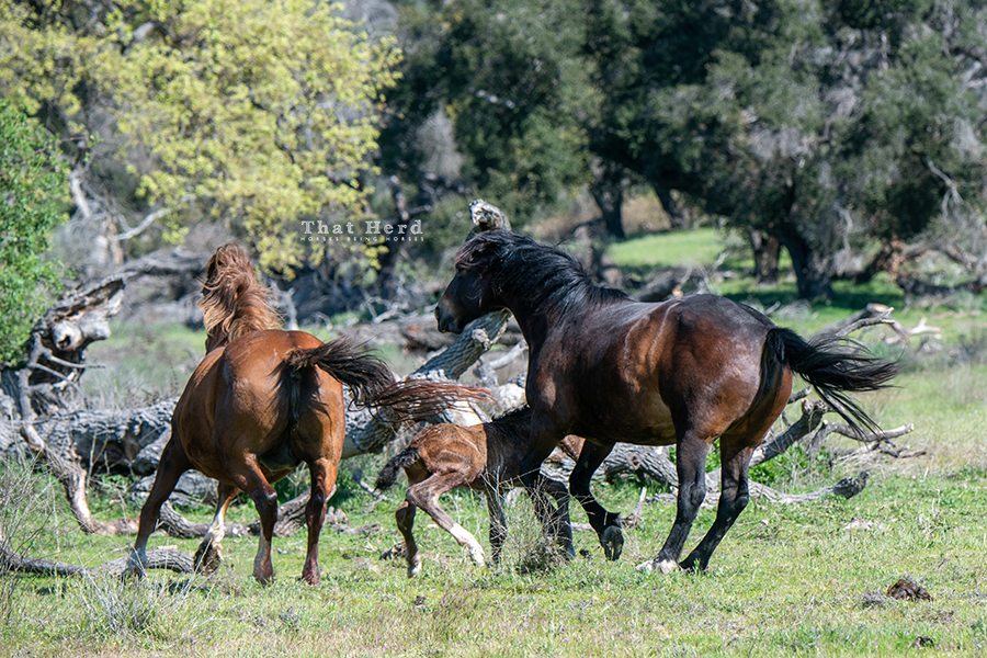 free range horse photography of the first hour of a newborn foal's life