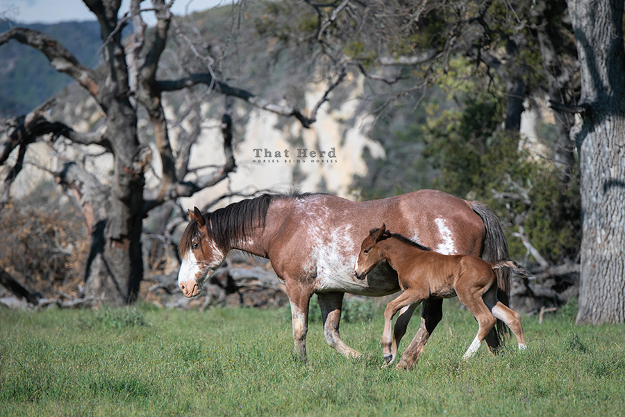 free range horse photography of a new foal staying in step with his mother