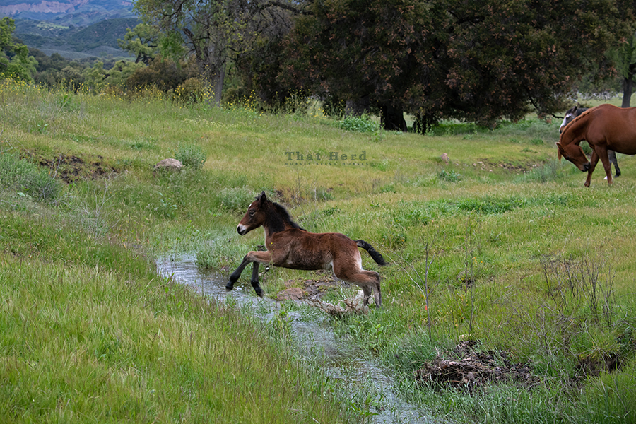 free range horse photography of a young colt leaping a stream
