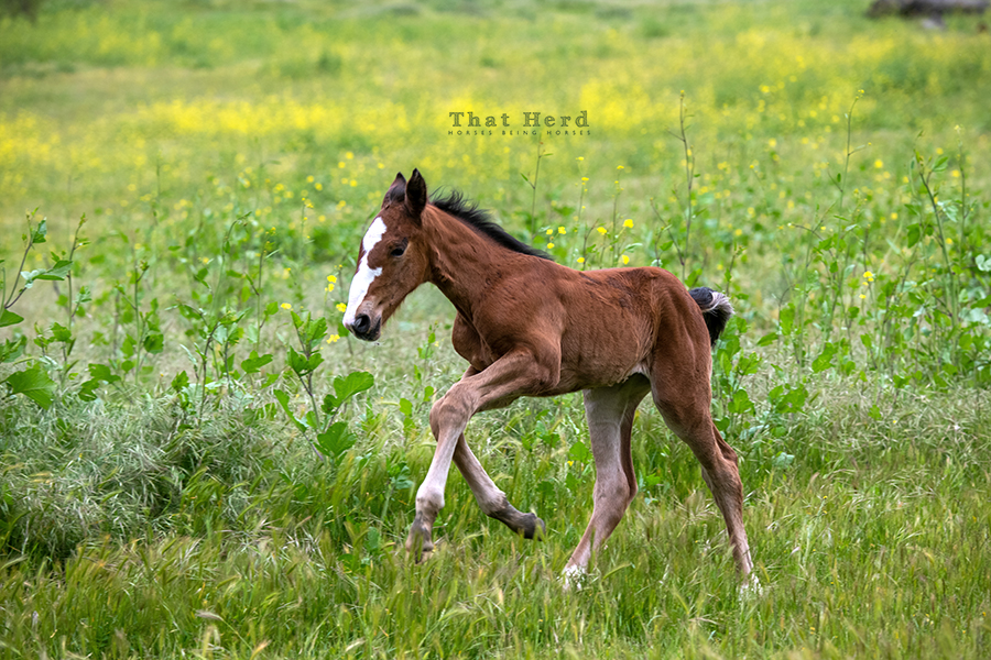 free range horse photography of a distinctive two-day old filly