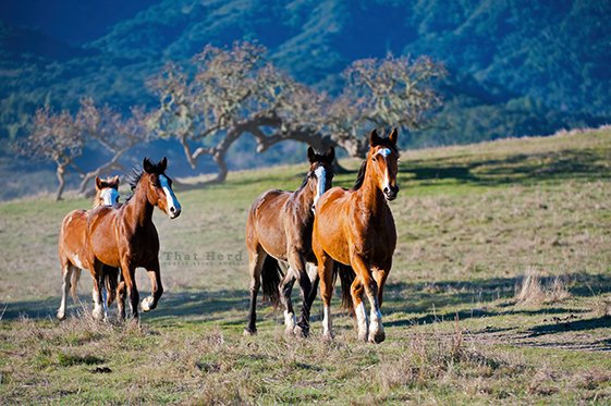 free range horse photography of early members of That Herd with old oak tree
