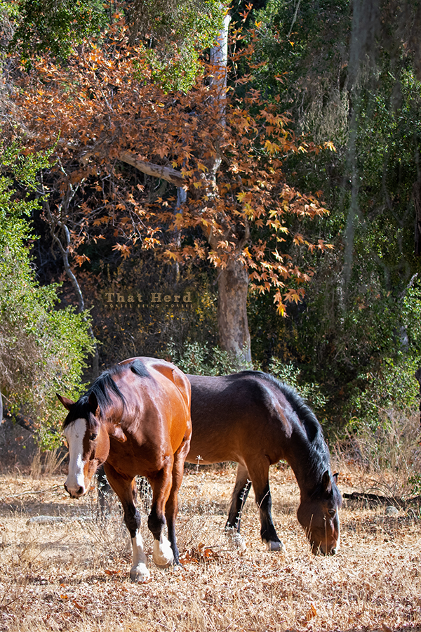 free range horse photography of two big horses browsing
