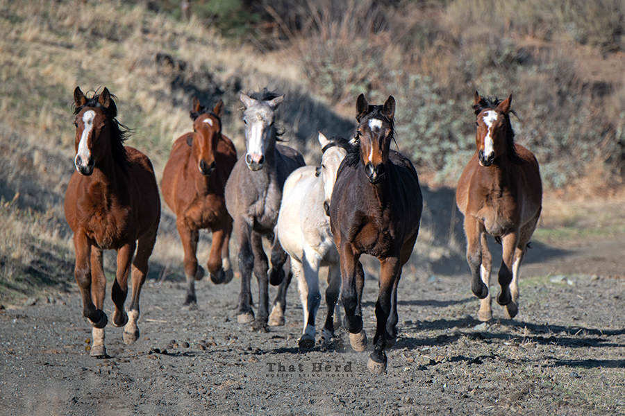 free range horse photography of young colts and fillies running toward the camera
