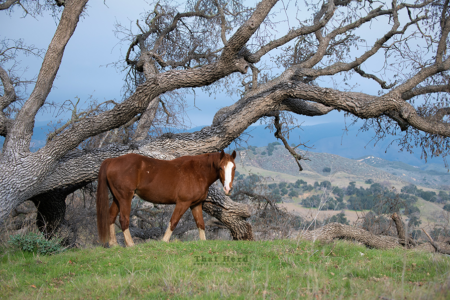 free range horse photography of a fancy colt with oak on hilltop