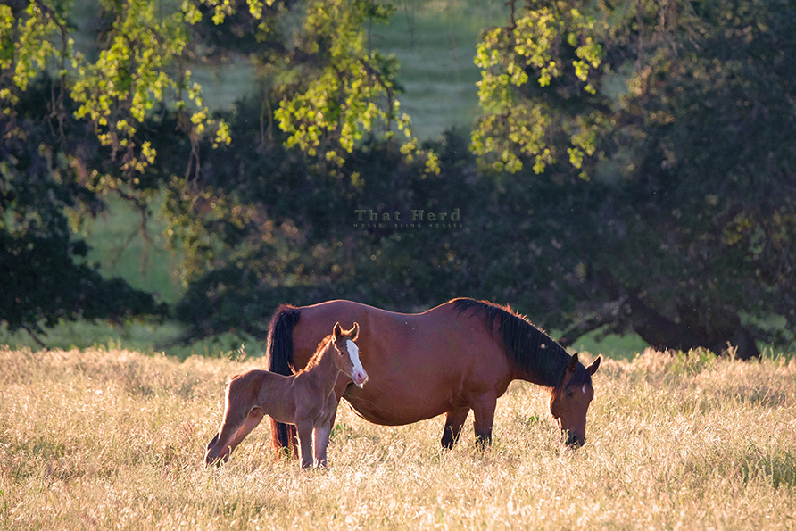 free range horse photography of a golden morning, big bay mare and newborn colt