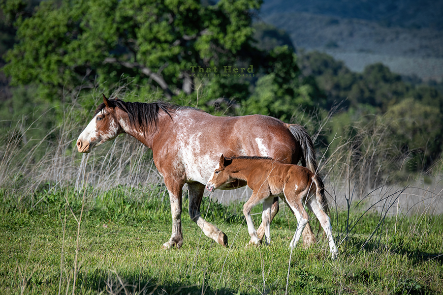 free range horse photography of a beefy newborn filly