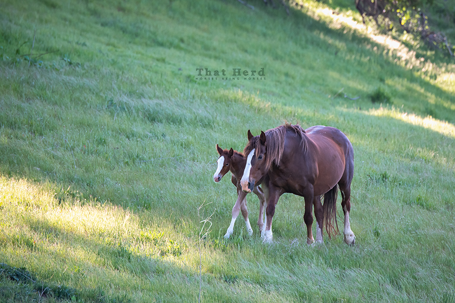 free range horse photography of a spirited mother and her new foal