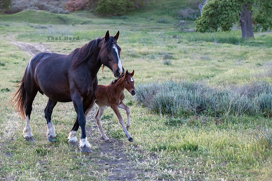 free range horse photography of a mare and new foal romping by