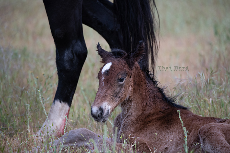 free range horse photography of a newborn filly wakes from her first nap