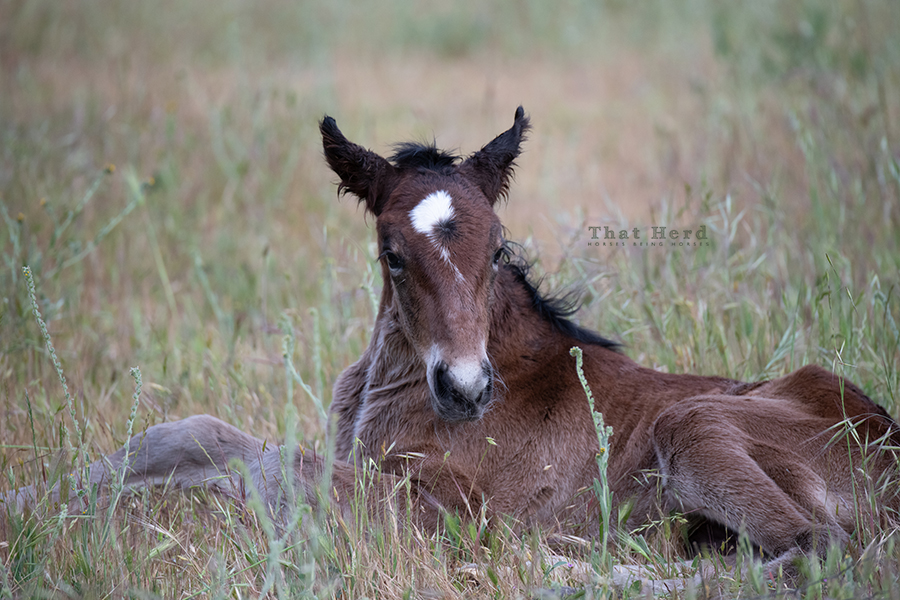 free range horse photography of a newborn filly adjusting to her new world