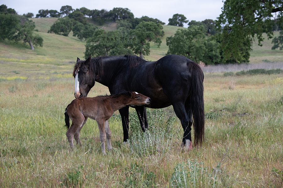 free range horse photography of early bonding moments between a mother and foal
