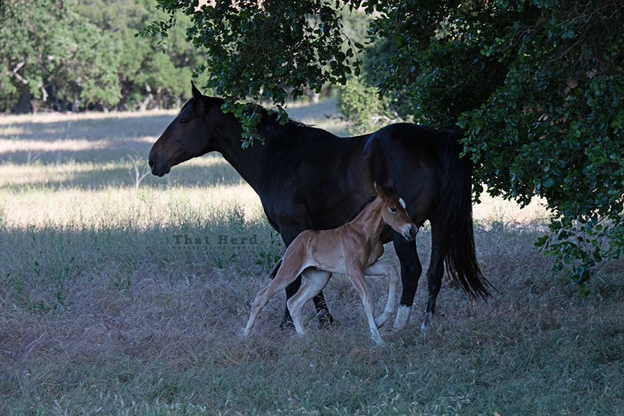free range horse photography of a newborn galloping around her mother
