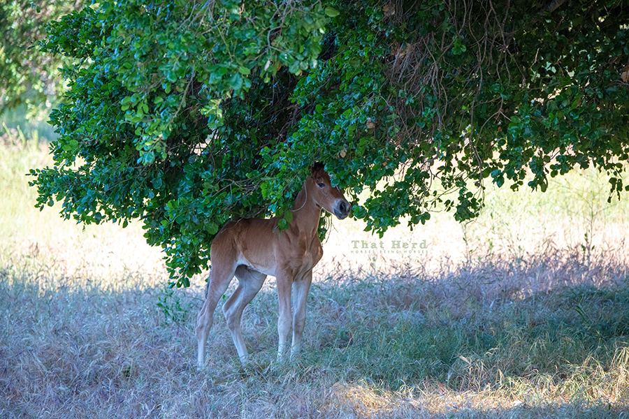 free range horse photography of a newborn exploring the branches of an oak tree