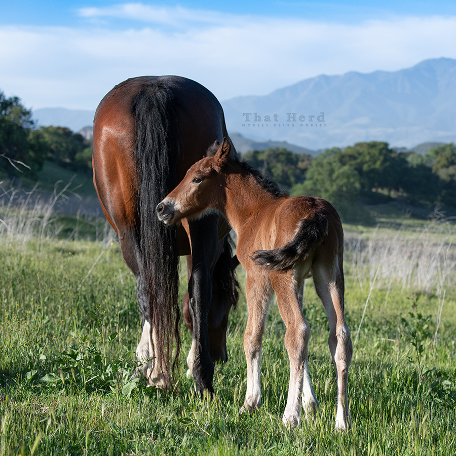 free range horse photography of a newborn colt at late day