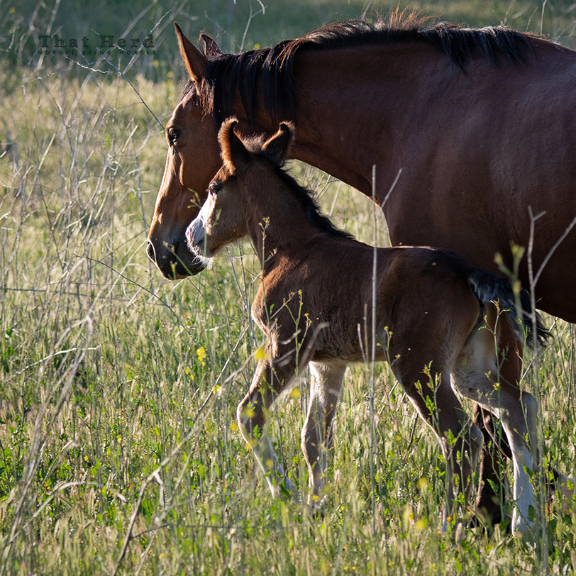 free range horse photography of a newborn foal with curled ears