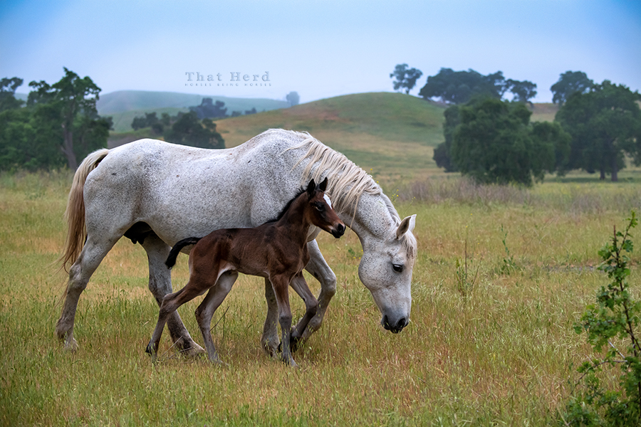 free range horse photography of mare presenting her newly born filly