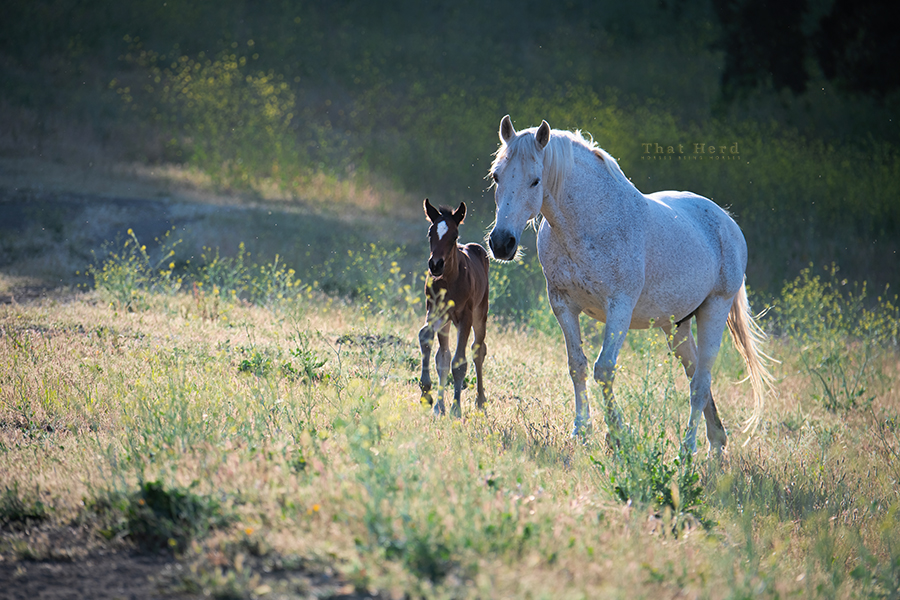 free range horse photography of a mare parading her new filly in late day light