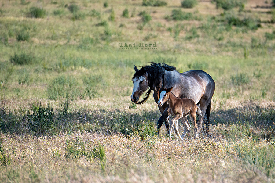 free range horse photography of a wary mare and newborn filly