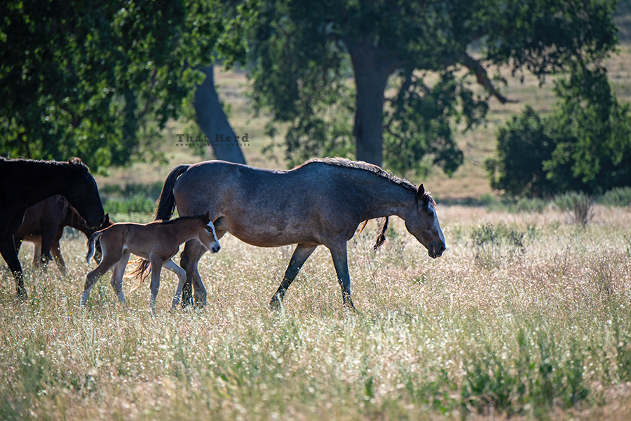 free range horse photography of a wary mare and newborn filly strolling by