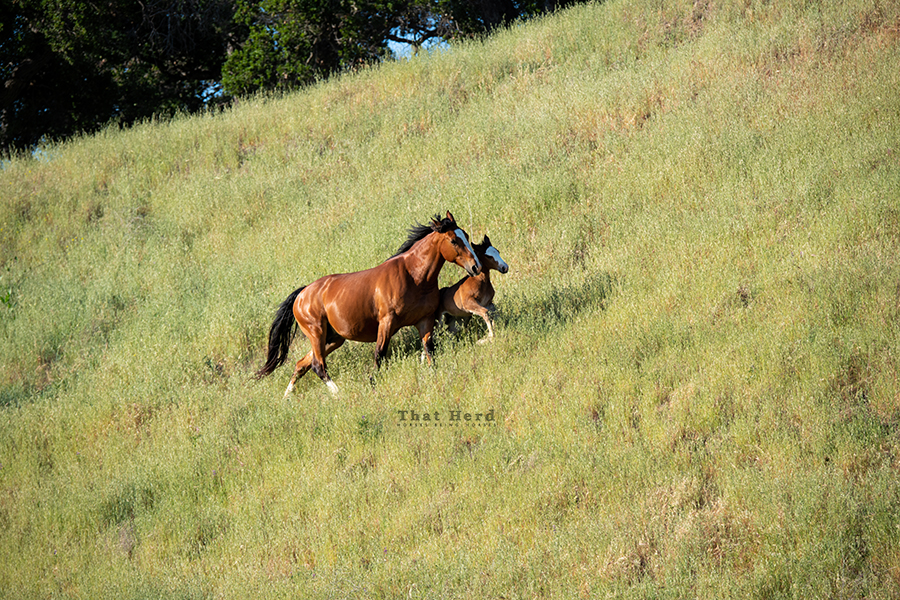 free range horse photography of a mare and foal cutting across a steep hill