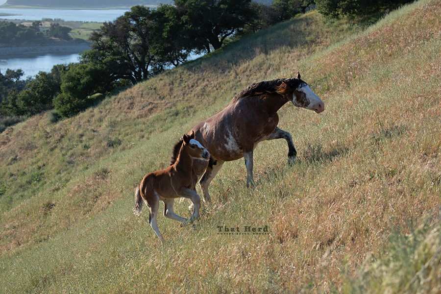 free range horse photography of a mare and foal easily climbing a steep hill
