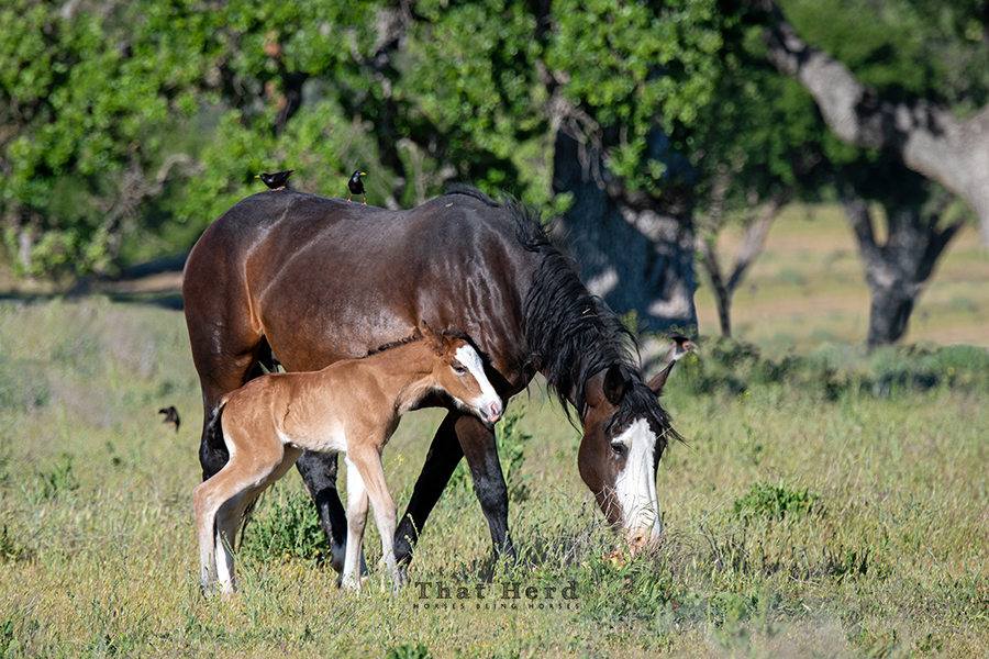 free range horse photography of a brand new colt and his flashy mother