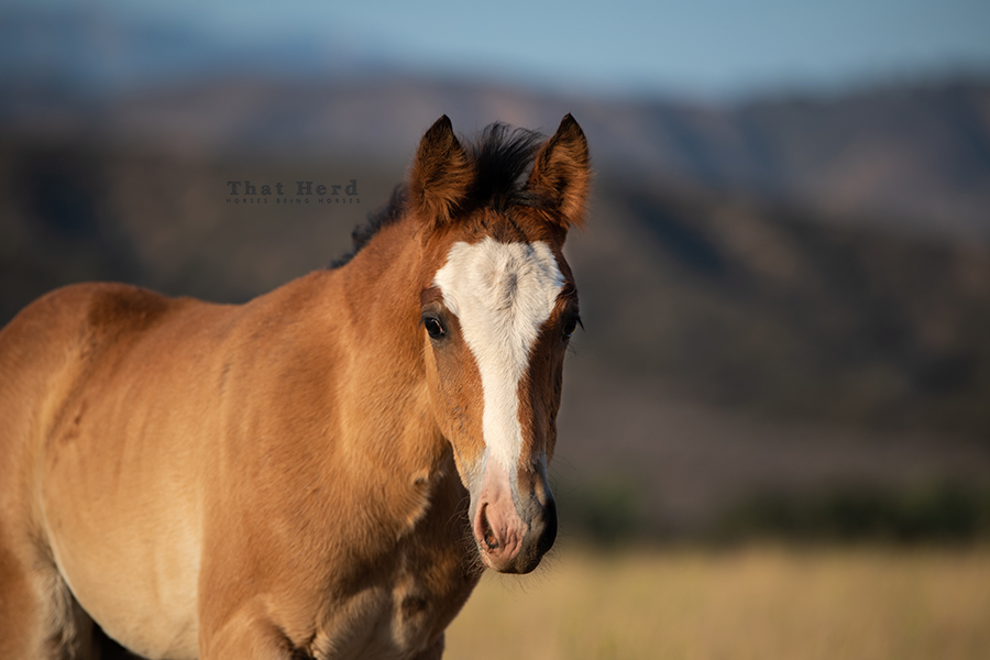 free range horse photography of a curious colt about two months old