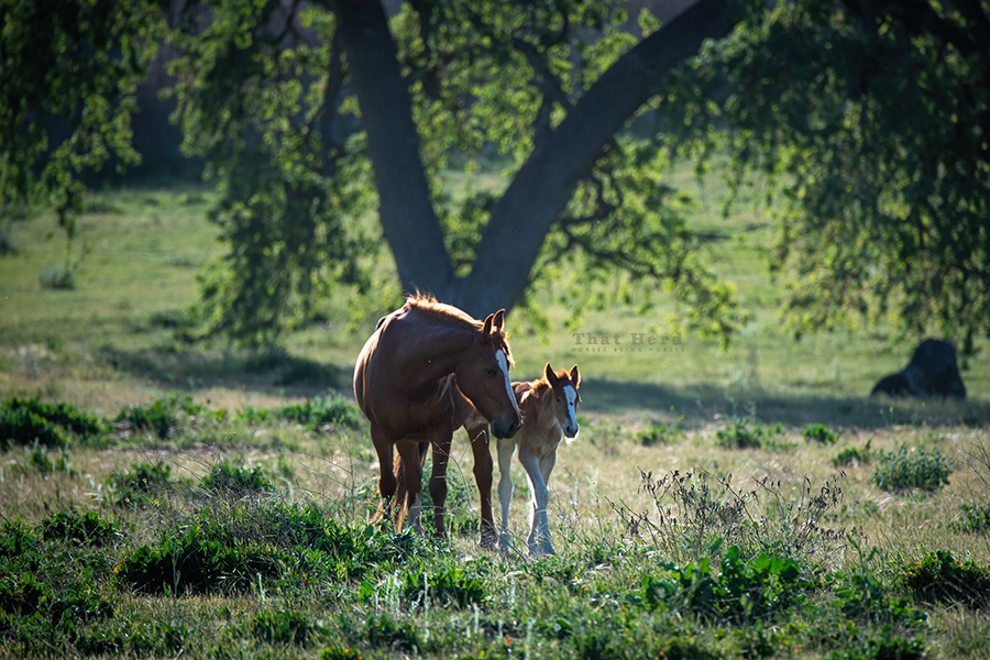 free range horse photography of a springtime mare and newborn foal