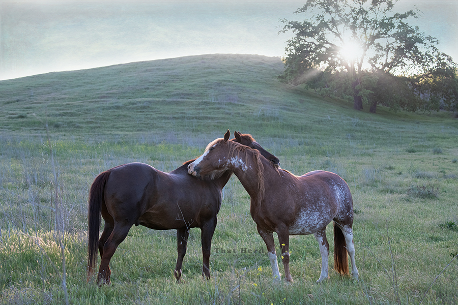 free range horse photography of a mare and old saddle horse grooming each other
