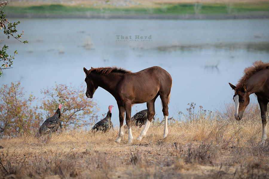 free range horse photography of a filly calmly observing a turkey parade as she grazes