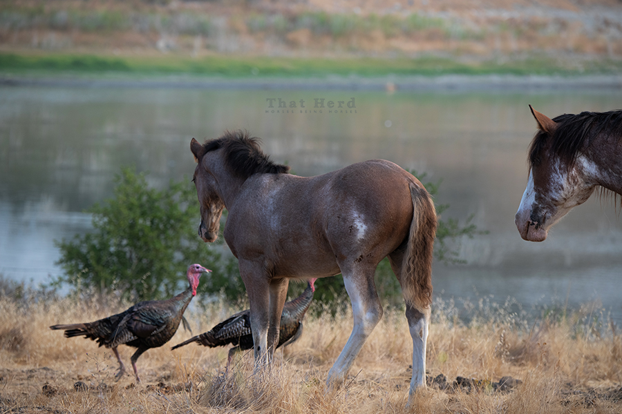 free range horse photography of a filly keeping a keen eye on some animated turkey behavior