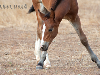 wild horse foal nibbles at an oat stalk