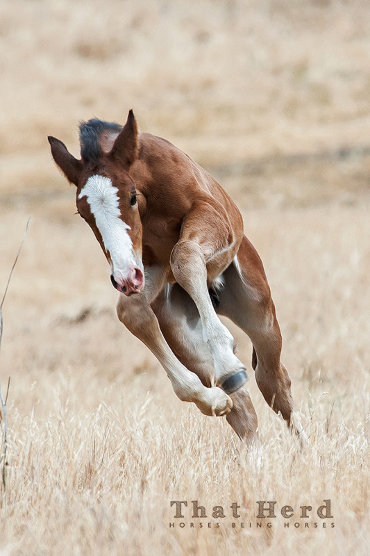 Wild horse foal running and leaping