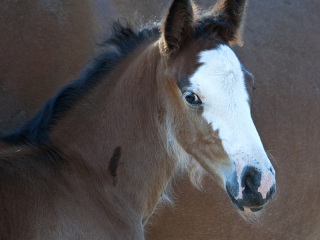 young wild horse foal with dramatic face markings