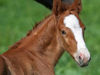 newborn wild foal portrait