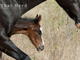 wild horse photography of newborn foal behind mother