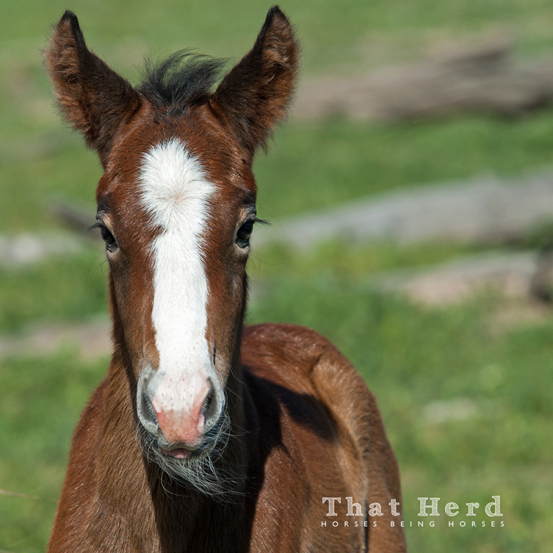 wild horse photography of a newborn foal