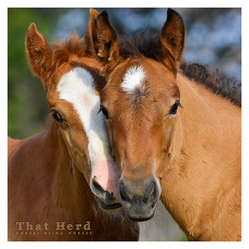wild horse photography portrait of two foals