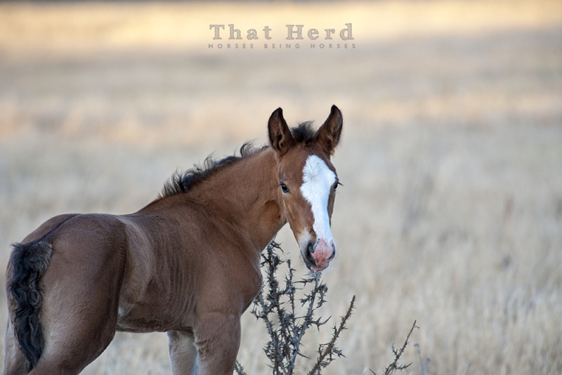wild horse photography of a newborn investigating a thistle plant