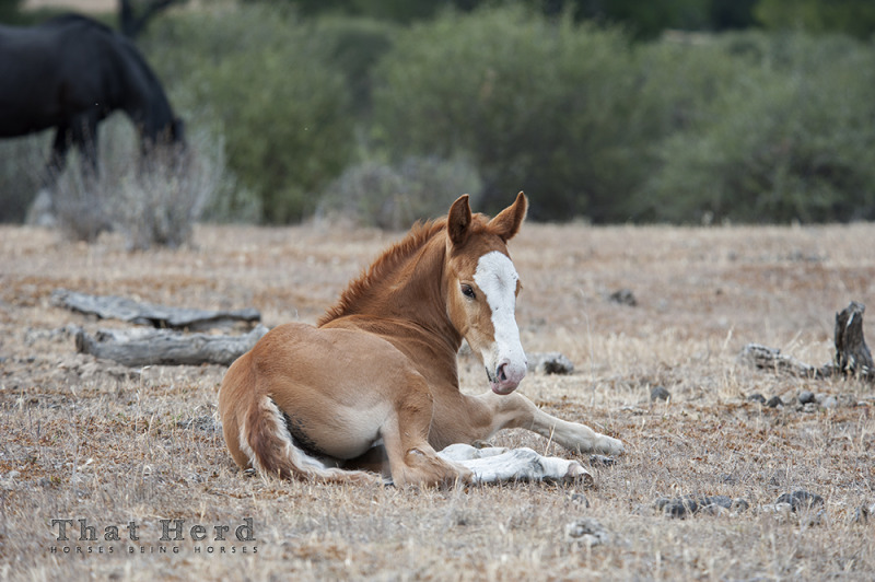 wild horse photography of foal lying down