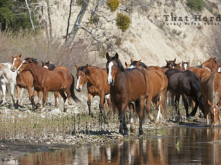 wild horse photography of a herd at a river bank