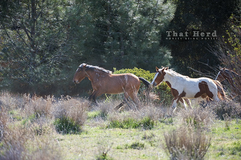 wild horse photography of horses running through woods