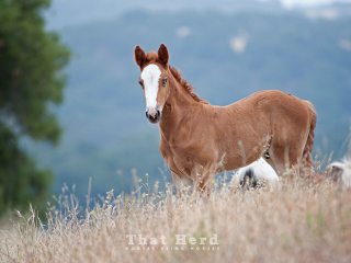 wild horse photography of a chestnut colt with blue eye
