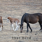 wild horse photography of a foal defending his mother against another curious foal
