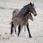 wild horse photography of a mare and foal leaving a confused foal
