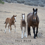 wild horse photography of an annoyed foal marching away with his mother