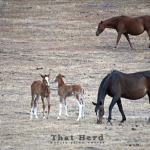 wild horse photography of a foal warning another foal